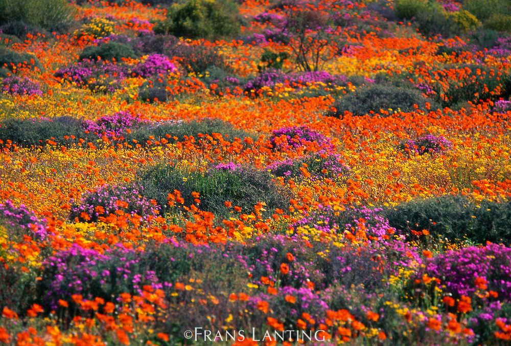 Flowering namaqua daisies, Asteraceae family, Goegap Nature Reserve, Namaqualand, South Africa