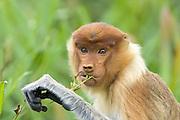 Proboscis Monkey<br /> Nasalis larvatus<br /> Feeding on leaves of mangroves<br /> Sabah, Malaysia
