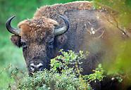 European bison/Wisent