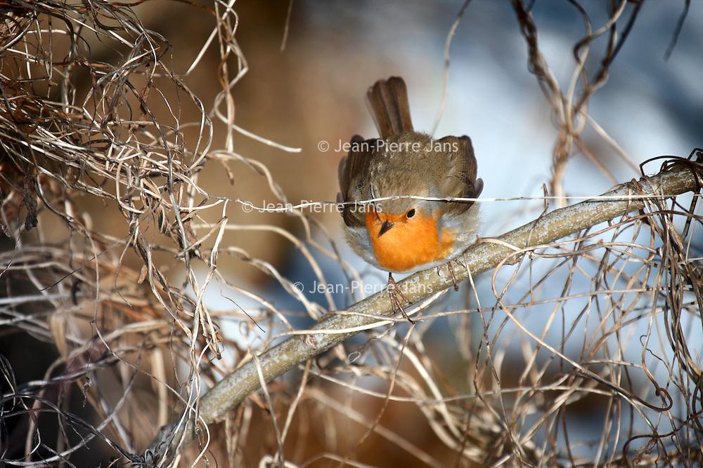 Roodborst op zoek naar voedsel in de winter. Foto: Jean-Pierre Jans