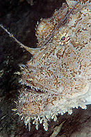 Monkfish, Lophius piscotorius, Lofoten, Norway,
