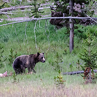 Face Off! Bear sees wolf trying to sneak in to get elk kill. Yellowstone National park, Wyoming.