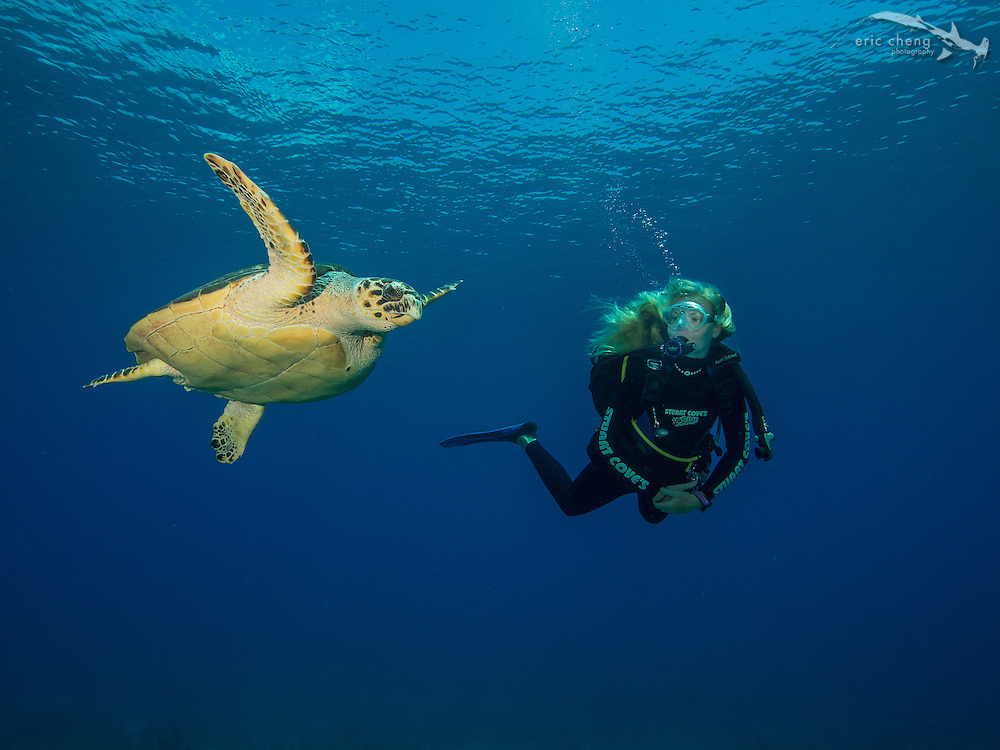 A diver swims with a hawksbill turtle (Eretmochelys imbricata)