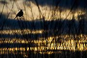 Yellow-headed Blackbird - Malheur National Wildlife Refuge - Oregon