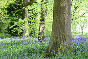 Bluebells in Lane Woods, near Little Chalfont in Bucks