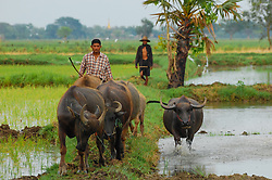 A family herds bufffalo in rural Burma (Myanmar) ,temple in the background
