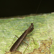 Gonypeta brigittae, Thai bark mantis. Kaeng Krachan National Park, Thailand.