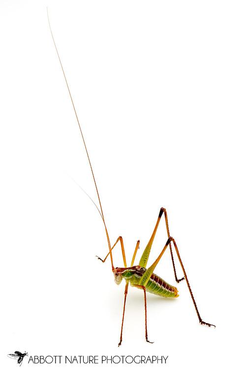 Chestnut Short-wing Katydid (Dichopetala castanea)<br /> TEXAS: Blanco Co.<br />Pedernales Falls State Park<br />9-May-2012<br />J.C. Abbott &amp; K.K. Abbott