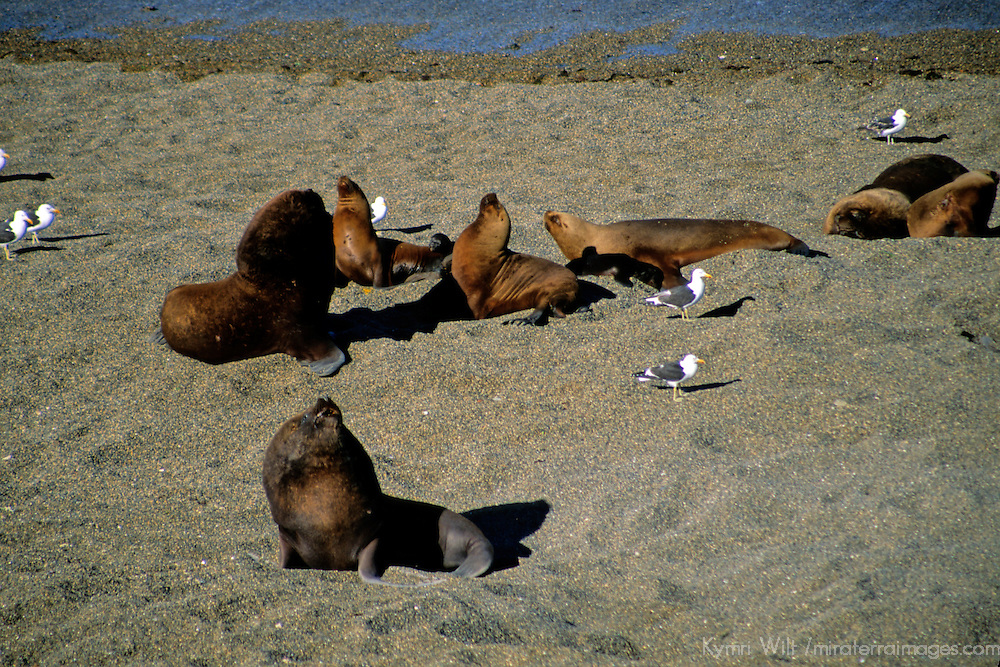 South America, Argentina, Valdes Peninsula. Sea Lion colony of the Valdes Peninsula.