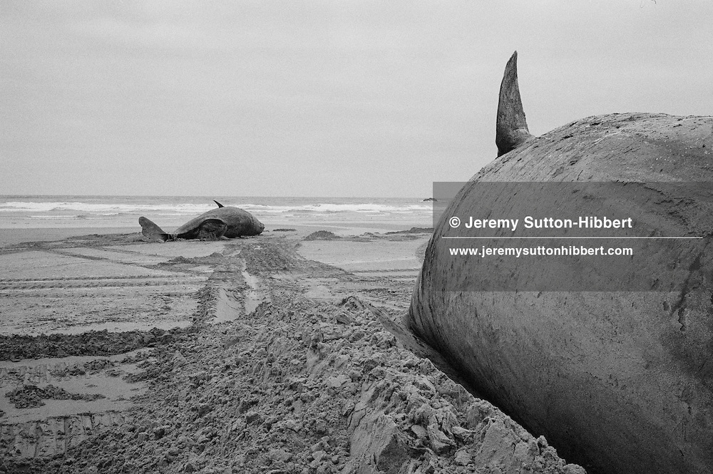 Sperm whales on the beach at Cruden Bay, Aberdeenshire, Scotland, on January 30th, 1996.