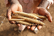 A man holds millet he pulled from a grain silo outside his home in the village of Nabitenga, Plateau-Centre region, Burkina Faso on Tuesday March 27, 2012. He says the cobs are normally twice as large, but that the rain has been insufficient this year.