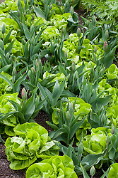 Butterhead lettuce 'Unico' interplanted with tulips