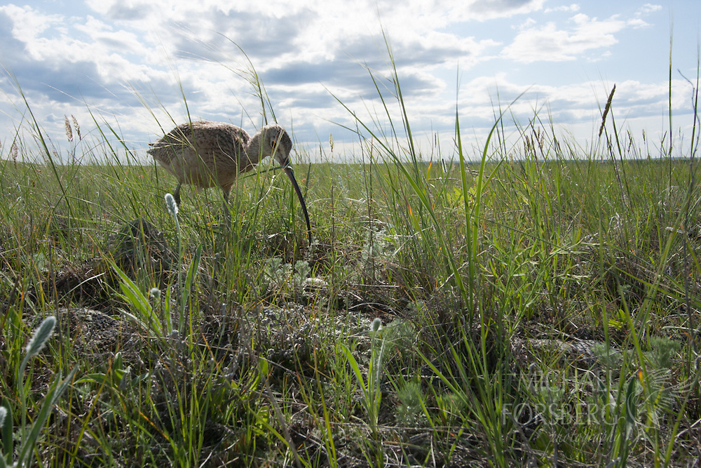 Bowdoin National Wildlife Refuge, Phillips County, Glaciated Plains, Montana<br /> <br /> Long-billed curlew at nest on eggs in prairie