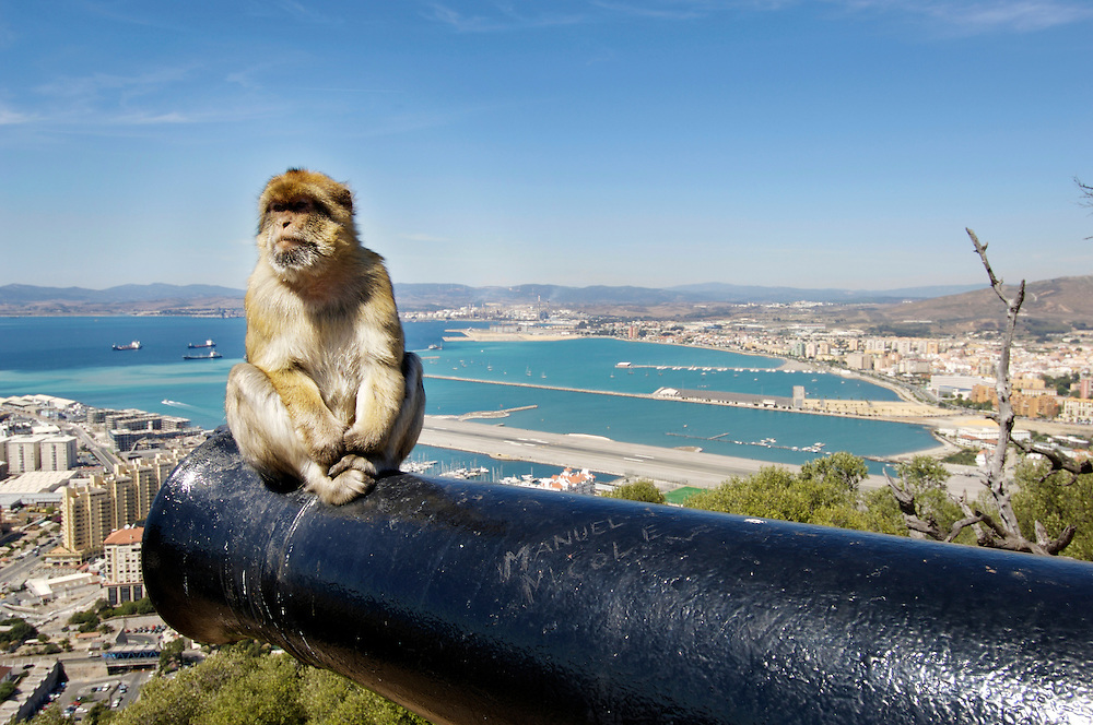 Gibraltar Barbary macaque monkey on the barrel of a canon overlooking the Bay of Algerciras
