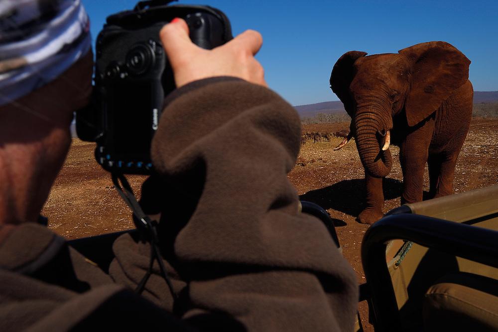 Photographer Victoria Peckett shoots a curious African bush elephant, Loxodonta africana, Zimanga Private Nature Reserve, KwaZulu Natal, South Africa
