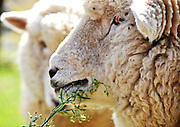 Head shot of sheep in New Zealand
