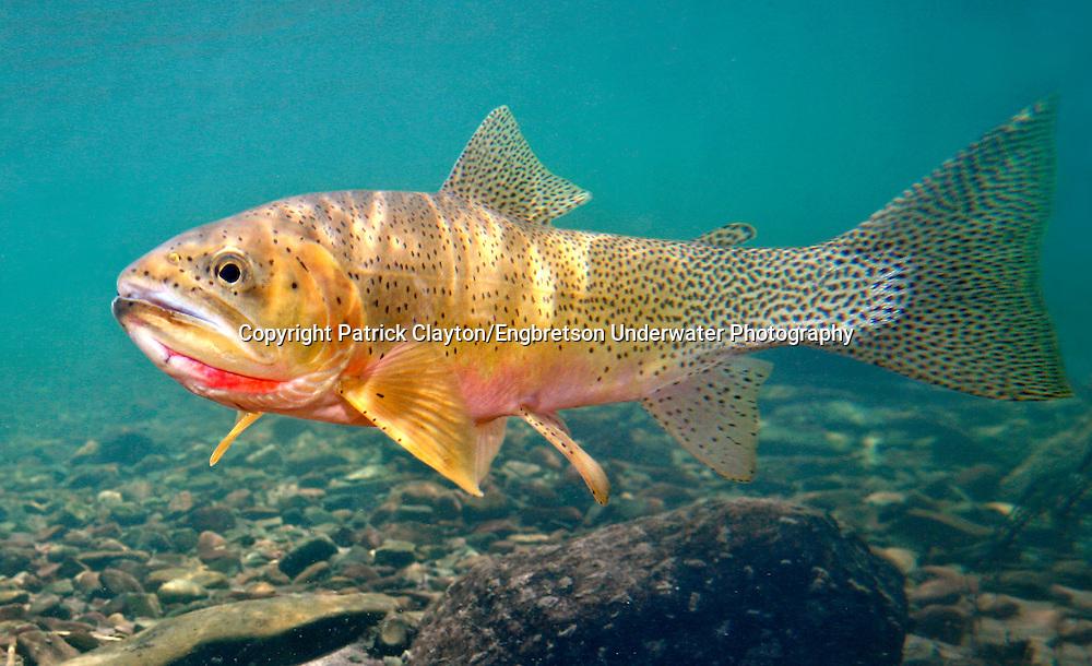 Westslope Cutthroat Trout | Westslope Cutthroat Trout Engbretson Underwater Photography