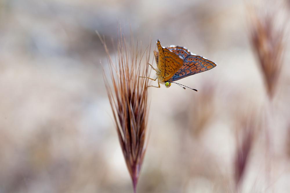 Calephelis wrighti (Wright's Metalmark) ♂ at Cold Canyon, San Diego Co, CA, USA, on 09-Apr-17