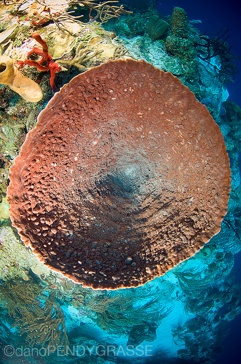 An unusual view of a barrel sponge (Xestospongia muta) on the reef wall near lighthouse reef, Belize.