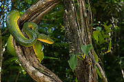 Emerald Tree Boa (Corallus caninus)<br /> Rain Forest<br /> Iwokrama Reserve<br /> GUYANA<br /> South America