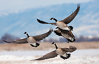 A group of Canadian Geese leaps into flight heading to their next destination!