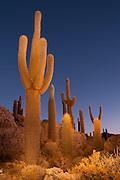 Cactus at Incahuasi island, at the centre of the salt desert of Salar de Uyuni