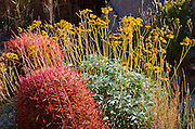 Barrel cactus and brittlebush, Anza-Borrego Desert State Park, California USA
