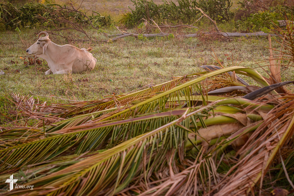Livestock rest near downed debris caused by Hurricane Matthew on Wednesday, Oct. 12, 2016, in a rural area of Les Cayes, Haiti. Many families lost their animals from the hurricane. LCMS Communications/Erik M. Lunsford