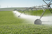 A pivot watering an alfalfa field at Madison Farms in Echo, Oregon