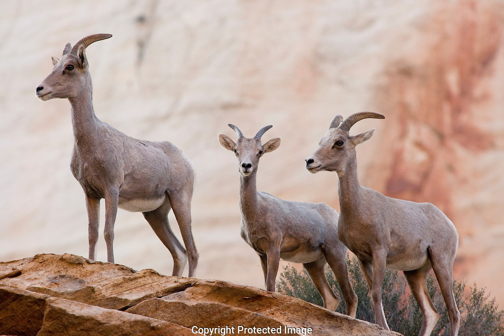 Desert Bighorn sheep band together which allows for a higher survival rate among the young.  Due to environmental issues and water shortage the survival rate of the very young is now decreasing.