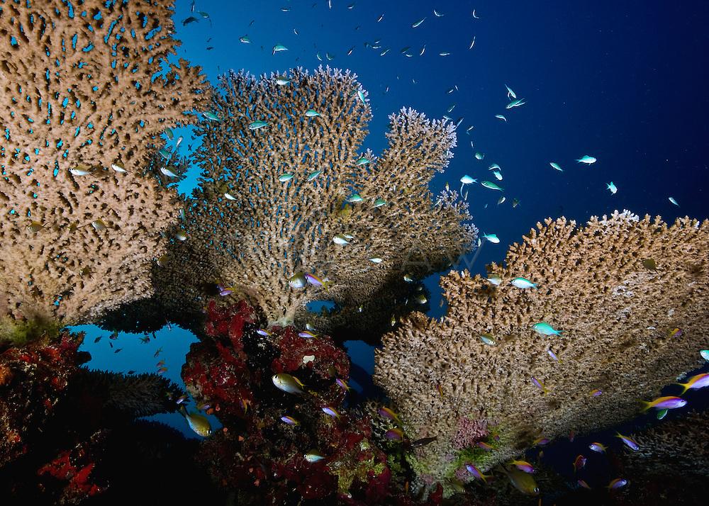 plate corals