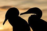 Flightless Cormorants (Phalacrocorax harrisi)<br /> Fernandina Island. Western Isles of Galapagos Islands<br /> ECUADOR.  South America<br /> ENDEMIC TO GALAPAGOS