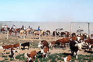Cowboys working the spring round up of yearling calfs and cows. Branding , castrating, de horning  and medicating the calves.