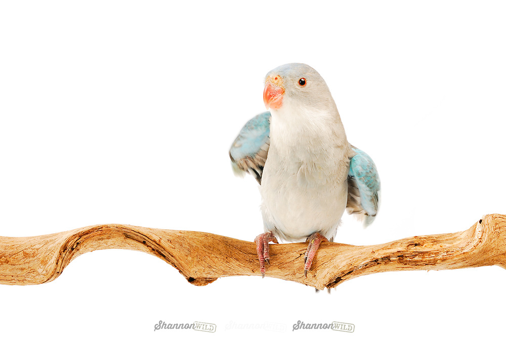 A male Princess Parrot perched on a branch with a white background