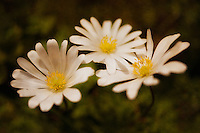 A trio of sunlit spring daisies.