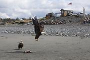 Bald eagles at Anchor River State Recreation Area, Alaska, USA<br /> <br /> Photographer: Christina Sjogren<br /> <br /> Copyright 2018, All Rights Reserved