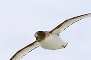 Antarctic petrel, or Thalassoica antarctica is a boldly marked dark brown and white petrel, found in Antarctica, most commonly in the Ross and Weddell seas. They eat Antarctic krill, fish, and small squid. They feed while swimming but can dive well from the surface and the air.(wikipedia)