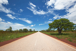 A single boab sports a lush dark canopy beside the road to Fitzroy Crossing in the wet season.