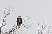 An American bald eagle near Kamas, Utah in winter