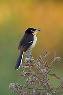 Black-capped Donacobius (Donacobius atricapillus), Pantanal, Brazil