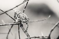 Botswana, Kalahari, Flap necked chameleon