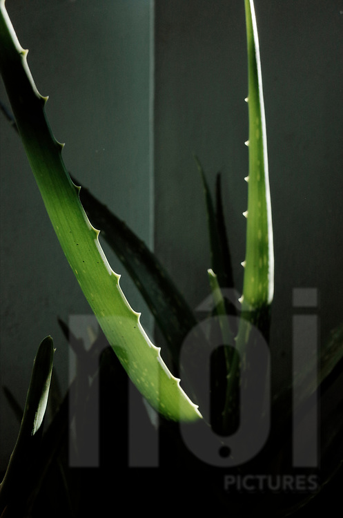Detail of an aloe leaf in the sunlight, Vietnam, Southeast Asia