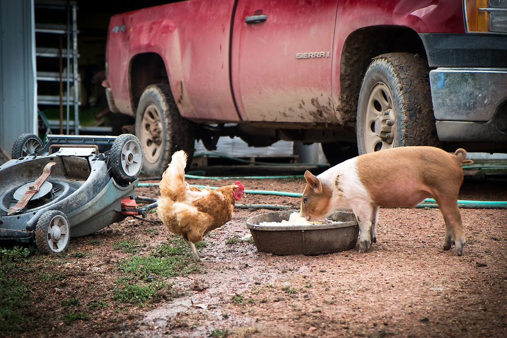 A Buff Orpington Chicken and a Mule Footed Pig share their evening meal at EZ Rocking Ranch | August 23, 2014