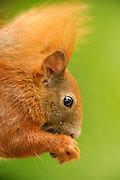 Autobahn A210 Anschlussstelle Melsdorf - Europäische Eichhörnchen (Sciurus vulgaris), auch Eichkätzchen, Eichkater oder niederdeutsch Katteker, ist ein Säugetier aus der Ordnung der Nagetiere (Rodentia). Es gehört zur Familie der Hörnchen (Sciuridae). Das Fell des Europäischen Eichhörnchens variiert von hellrot bis zu braunschwarz. | Subadult Eurasian red squirrel (Sciurus vulgaris)