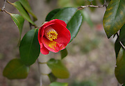 Japan, Tokyo, Japanese Quince (Chaenomeles japonica) blossom