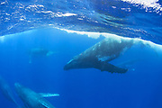 Humpback Whale<br /> Megaptera novaeangliae<br /> Males in &quot;heat run&quot; competing for female<br /> Tonga, South Pacific