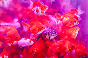 Goldfish in crowded tank, Mong Kok
