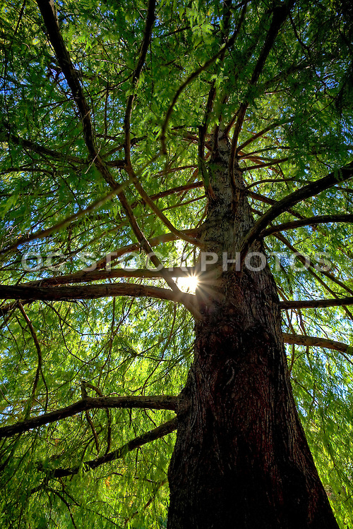 Healthy and Tall Green Tree