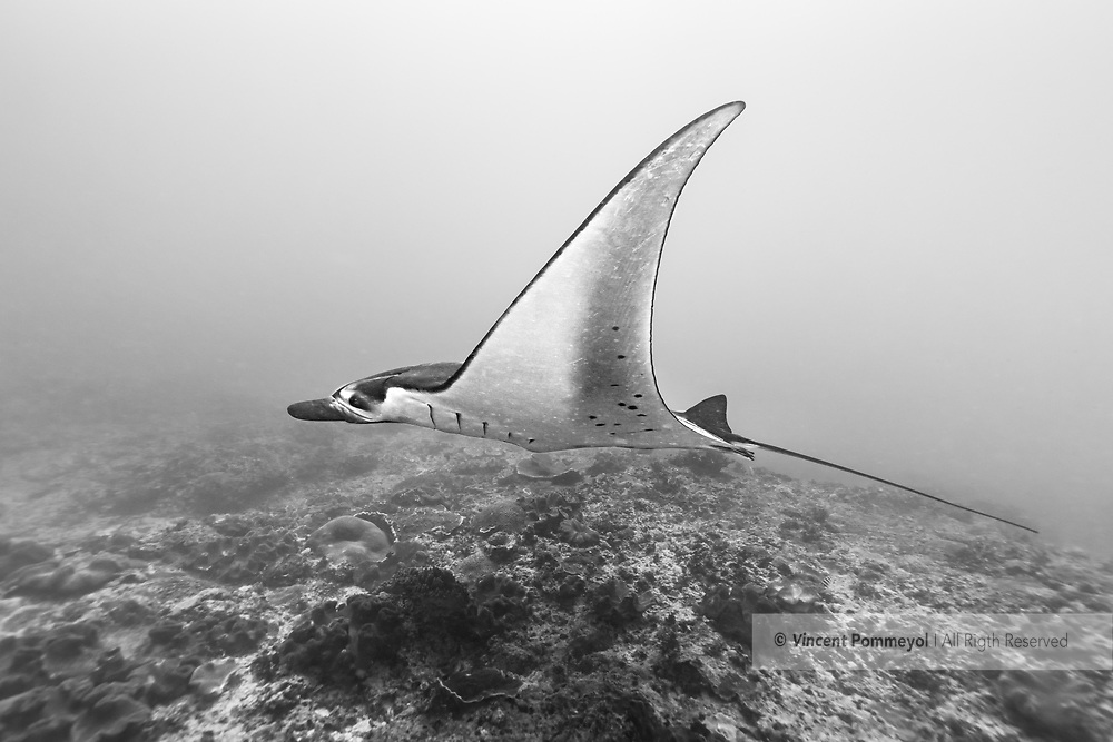 Giant oceanic manta ray-Raie manta océanique (Manta birostris), Nusa Penida island, Bali, Indonesia.