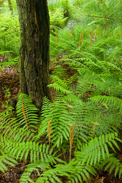 Ferns in a forested wetland in Medfield, Massachusetts.